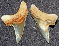 Thresher (Paranomotodon Angustidens) (Fossiltoothpic) Tags: macro animal animals canon tooth fossil shark teeth paleontology extinct fossils thresher sharkteeth cretaceous sharktooth serrations canoneos7d fossilsharktooth fossiltooth fossilteeth paranomotodon