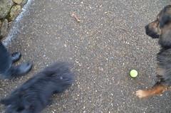DSC_0065 (rlg) Tags: bear rescue dog white black male animal mammal march mutt jasper texas 01 pomeranian thursday 2012 0301 fpr 201203 28nov09 nikond5100 20120301 03013012 jasperrg