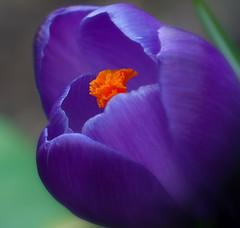 let's start a new season (pandora4image) Tags: spring purple crocus lente krokus paars