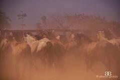 Atajo al Corral (Alfonso Giraldo) Tags: horse caballo llano arauca llaneros atajo llanosorientales llanoscolombianos