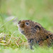 Water Vole Notts WT (cpt Tom Marshall)