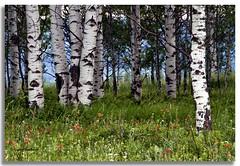 Aspens in Spring (walla2chick) Tags: usa oregon or aspens wildflowers aspen topazadjust 0865ta