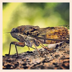 ant under cicada (VIVIAN GEROGIANNI) Tags: macro nature cicada insect square photography fly ant small under insects squareformat instagramapp