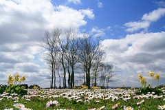 A daisy field (Liam Skelly) Tags: