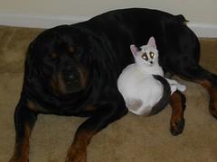 Panda cat and Crash the dog (sheeenanana) Tags: dog cute pandacat rottweilerandcat