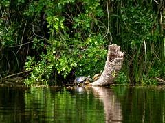 Everglades 46 (xotico) Tags: usa naturaleza verde canal agua florida everglades senderismo canoa reserva estadosunidos eeuu manglar cocodrilos canales manglares xotico xoticosphotos