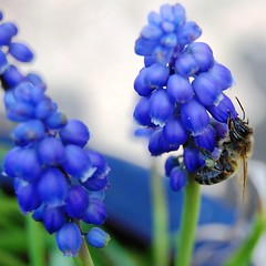 Honey bee on muscari (*Psycho Delia*) Tags: flowers blue macro nature nectar pollen honeybee muscari apismellifera sooc natureselegantshots blinkagain