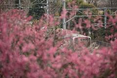 E530 (kimuchi583) Tags:  kairakuen japaneseapricot  umeblossoms