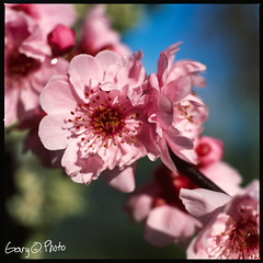 cherryblossom (gary ottonello) Tags: macro cherry spring fuji blossom tubes hasselblad gary medium format 100 extension provia 500cm ottonello carlzeiss80mm28tplanar