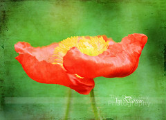 Spring Poppy (The Photo-Guy Photography By Darren) Tags: life red wild summer orange sun plant painterly flower color green texture nature floral beautiful beauty grass rural scarlet garden season landscape botanical leaf spring stem purple natural blossom gardening background grunge grow meadow poppy land bloom agriculture herb herbal bold herbage aroma