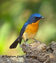 "Hill Blue Flycatcher,       Cyornis banyumas,, male (Graham Ekins) Tags: bird canon graham northernthailand doiangkhang ekins ""birdwatcher"" hillblueflycatcher cyornisbanyumas grahamekins ""canon400mmf4isusm"" royalprojectbotanicalgardens ah9k6898"