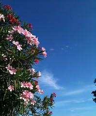 Domingo de sol (Alan Bailão ⎝⏠⏝⏠⎠) Tags: azul brasil natureza céu goiânia árvores goiás flôres singela