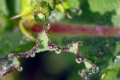 (Victoria.....a secas.) Tags: macro reflections drops explore gotas reflejos