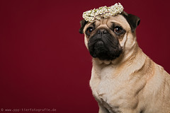 studio portrait picture of a pug (Partridge-PetPics) Tags: flowers portrait flower floral studio von picture pug wreath hund bild einem partridge headdress mops highquality kopfschmuck blumenkranz partridgepetpics