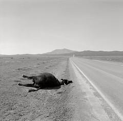 Dead Cow, near Winnemucca, Nevada (austin granger) Tags: road film dead death cow desert empty nevada roadkill stark winnemucca blackrockdesert jungo gf670 austingranger