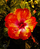 Dorset-Hybiscus-Edited (gianbur) Tags: hybiscus brightflower spectacularbloom