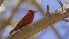 Summer Tanager (male banded) | San Pedro River | Sierra Vista | AZ | 2016-05-09at09-57-402 (HarmonyonPlanetEarth) Tags: nature birds slideshow