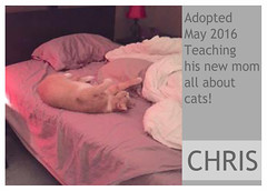 Chris-adopted (Ali Crehan) Tags: cat may shelter adopted 2016