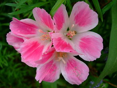 Clarkia amoena (yewchan) Tags: flowers flower nature colors beautiful beauty closeup garden flora colours gardening vibrant blossoms blooms lovely clarkia clarkiaamoena godetias