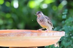 Red Wattlebird (StaceyA42) Tags: red bird water bath wattlebird