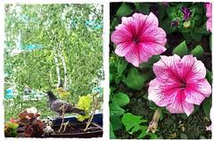 Two lovely moment on my road- Kt kedves pillanat az utamon (Katalin Rz) Tags: petnia allnaturesparadise