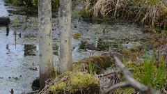 Solitary Sandpiper (PhotonPirate) Tags: bird tringa sandpiper solitary wetland solitaria