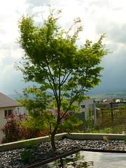 Acer palmatum ´Seiryu´ (Jörg Paul Kaspari) Tags: spring acer garten frühling palmatum 2016 wincheringen moderngarden drachenschwanzahorn ´seiryu´ acerpalmatum´seiryu´