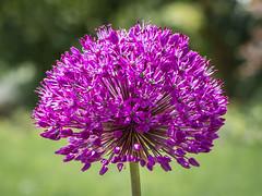 Allium (++sepp++) Tags: flower nature closeup bayern deutschland blossom natur blumen blte garten allium nahaufnahme graben doublefantasy zierlauch