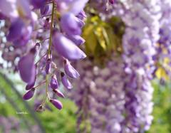 Glycine (Vootch) Tags: fleur plante bokeh extrieur proxy profondeurdechamp