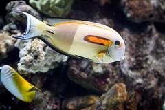 Tan Fish (Eric Kilby) Tags: orange fish water animal zoo tropical fortworth tang surgeonfish