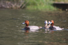 Redheads (Natty Abrahams) Tags: red portrait bird nature water birds animal animals amazing natural birding ducks redhead heads redheads