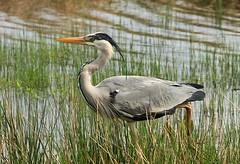 Heron (WhitePointer) Tags: bird heron leightonmoss rspb