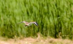 Bird Less Background (brev99) Tags: bird ngc sandpiper bif birdinflight d7100 topazdenoise nikoutputsharpener tamron70300vc highqualityanimals