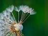 Get ready for the journey of your life! (Karsten Gieselmann) Tags: microfourthirds grün olympus em5markii wildblumen feldweidewiese mzuiko makro sonnenaufgang frühling löwenzahn 60mmf28 weis kgiesel farbe jahreszeiten licht color dandelion green lawn light m43 meadow mft seasons spring white wildflowers burglengenfeld bayern deutschland de em5mark2 explored