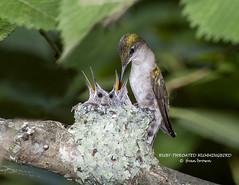 RUBY-THROATED HUMMINGBIRD  FB2_9779 (francesbrown266) Tags: ruby hummingbird ngc sunrays5 coth5