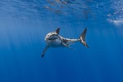 Turning toward the camera (George Probst) Tags: ocean blue water mexico shark underwater outdoor wildlife diving adventure baja greatwhiteshark tiburonblanco grandrequinblanc isladeguadalupe weiserhai