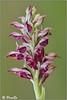 Orchis coriophora (PacoSo) Tags: macro wildflower navarra orquídea wildorchid mayos clavellina florsilvestre pacoso orchiscoriophora orquídeasilvestre olordechinches