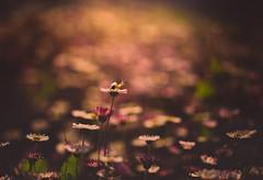 The snail tamer (cristina.g216) Tags: pink flowers light flores primavera bokeh snail rosa daisy springfield margaritas caracol