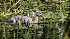 Mute Swan Cygnet (Bob Gunderson) Tags: california birds northerncalifornia swans marincounty muteswan northbay cygnusolor lasgallinas
