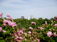Cityscape (heldermira) Tags: flowers roses summer urban cityscape outdoor capital citylife parks capitol summertime hartford urbanpark micro43 microfourthirds panasoniclumixgx85
