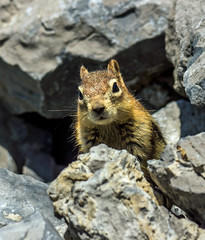 golden mantled ground squirrel - banff NP, canada (AB) 7 (Russell Scott Images) Tags: canada ab alberta banff rodents banffnationalpark goldenmantledgroundsquirrelcallospermophiluslateralis