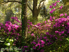 Springtime in the Outer Banks (moelynphotos) Tags: garden azaleas floweringplants infullbloom perennial springtime seasons trees deciduoustrees vines shrubs bushes lush colorful vibrant outerbanks roanokeisland northcarolina landscape landscapeformat scenics nopeople plants moelynphotos