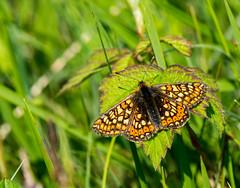 Marsh Fritillary (Peter Quinn1) Tags: macro butterfly lincolnshire marshfritillary chamberswoodfarm