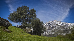 La encina/ The holm oak (Jose Antonio. 62) Tags: trees espaa naturaleza nature beautiful grass clouds photography spain rboles colours nieve nubes cantabria sno hierba picosdeeuropa holmoak encina