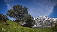 La encina/ The holm oak (Jose Antonio. 62) Tags: trees españa naturaleza nature beautiful grass clouds photography spain árboles colours nieve nubes cantabria sno hierba picosdeeuropa holmoak encina