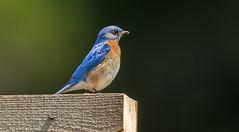 IMG_9161 Male Eastern Bluebird (Wallace River) Tags: bluebird easternbluebird