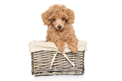 Poodle puppy in basket (harukasano) Tags: portrait dog pet brown cute animals puppy studio cub golden miniature friend funny sitting dwarf small young adorable posing curly tiny poodle attractive breed muzzle toydog babyanimal whelp younganimal pedigreed wickerbasket apricottoypoodle animalsonwhite