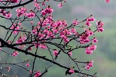 Cold and Beautiful (Ryukyujin) Tags: pink mountain nature rain cherry blossom  sakura okinawa   ryukyu yaedake