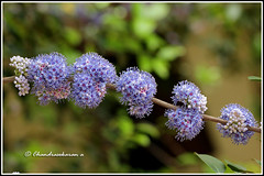 6240 - memocylon umbellatum (chandrasekaran a 34 lakhs views Thanks to all) Tags: flowers trees india macro nature umbellatum chennai tamron90mm canon60d memocylon memocylonumbellatum