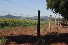 Fields (PEDROARSKY) Tags: azul saopaulo sunny bluesky sp sorgo cerca ceu morro 016 plantacao arame estaca agudo morroagudo coniferas